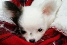 ♡Baby♡ / My Christmas present from Santa!!   Baby is a  pure bred long hair chihuahua and weighs 1.5 lbs.   She is soooo sweet, tiny and super adorable.  I'm in love♡ / by Christina Kelly