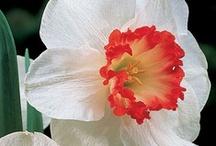Cool-Season Flowers & Hellebores / Flowers that like shorter, cooler (or even colder) days. / by Nel Barner