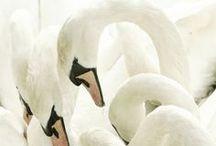 :: Swan L♡ve ::