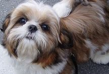 I Shih Tzu not! / ....with Llaso Apsos sprinkled in! / by K Simmons