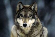 Wolves / by Kolene Eisenhauer-Topf