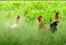 chickens,roosters and hens... / by Nora Gholson