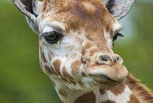Giraffes / What's not to love about giraffes?