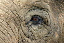 Gentle Giants / These beautiful animals are being slaughtered in the thousands for their ivory tusks. Please help STOP THE KILLING by supporting anti-ivory/poaching groups. There are a number of worthy organizations you can support like  https://www.sheldrickwildlifetrust.org/is/donate_now.asp / by SusieQB