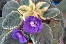 African Violet database / A catalogue of my African Violet collection. / by shannoetry