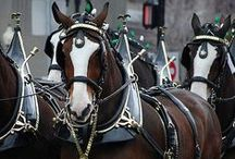 Animals - The Clydesdales / by Susan