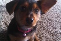 Roxy the Dorkie / our dog roxy which is a dachsund yorkie , dorkie, mix.