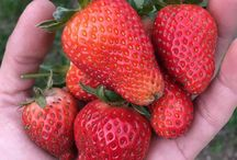 Growing Fruit / Great tips for everyone who loves growing fruit. Whether you're growing strawberries in a pot or have a orchard in your backyard, you're sure to find information here to help you get a great harvest.