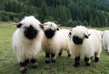 Sheep / by Hollie Haradon
