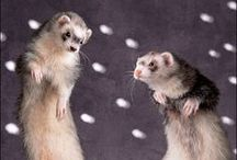 ferrets!!! / my crazy fuzzy family or items i would like to get