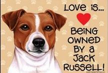 """Could be Our Jack Russell  / We have a year old Jack Russell, """"RUSTY"""".  He is calming down and is the best pal to my husband.  They golf everday but Sunday and Rusty would be lost if he weren't riding the golf cart.  Everyone at the golf course knows him. / by Rita Diffenauer"""