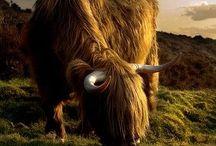 Scottish Animals