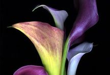C: Purple