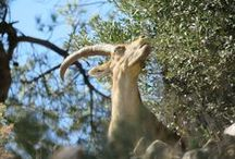 Wild goats in Spain