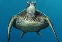 marine organisms / algae, dolphins, fish, frogs, invertebrates, jellyfish, marine mammals, marine reptiles, octopus, phytoplankton, seabirds, sharks, turtles / by sharon