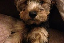 Bruno, our Brooklyn Yorkie / by Kathleen Russell Ashcraft