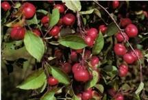 Wild Food - Fruits & Nuts