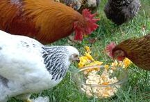 Chickens / by Cheryl Heslop