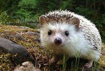 Hedgehog Bonkers
