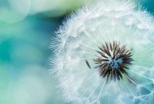 dandy dandelions / #dandelions #wishes #dandelion / by Kristin Damstetter