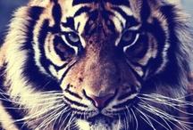 Only Tigers / by Stephanie Luna