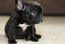 frenchie love.