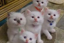 House of Steward Ragdolls / Adorable, registered Ragdoll Kittens for sale from Clay Center, Kansas. All of our kittens are born and socialized in our home as if they would always be our pets and are never caged. www.stewardragdolls.com.  We add daily pictures and videos on our Facebook Page  http://www.facebook.com/steward.ragdolls/