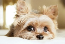 All About Yorkies / by Velda Roberts