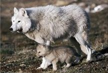 Wild Wild Wolves  / I absolutely love wolves, and I am trying to gather as many images of these majestic creatures as possible. There are also the odd updates on events relating to wolves, as and when they occur.