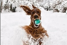 I Love Irish Setters & other setters too! / by Barbara Schaeufele