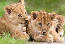 Cute / Mostly big cat cubs, but any cute animals are welcome!