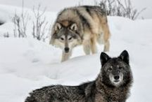 ANIMALS:Wild Canines / Wild. / by Claire Frances
