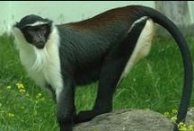 ANIMALS:Monkeys+Prosimians / Swinging! / by Claire Frances