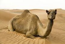 ANIMALS:Llamas+Camels, etc / One hump or two? / by Claire Frances