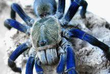 Areneae / Spiders