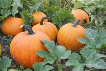 Pumpkins / by Denise Wright