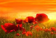 Amapolas - Poppies / Bonitas fotos de amapolas. Beautiful photos of poppies #fotografía #poppies #photo #amapola #nature ##naturaleza