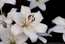 Lilies / Photos and paintings and other art featuring lilies - members of the lily family