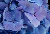 Hydrangeas / Photos and paintings of all sorts of hydrangeas