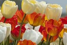 Bulbs in the Garden / Plant bulbs in your garden for a beautiful spring surprise. Mix it up with your favorites bulbs, and try some new varieties!