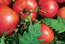 Tomatoes in the Garden / Tis the season to get ready to plant these plump and well-loved fruits. Here you'll find an abundance of information that will teach you all the tips and tricks you need to know to have the best growing season yet! / by Fine Gardening Magazine