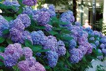 Hydrangeas in the Garden / A favorite among many gardeners.
