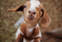 I love GOATS! / by Jennifer Matthews