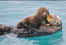 Sea otters / the most amazing creatures in the world.