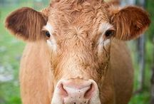 Animals: Bovine Luv / These animals mooooove me to smiles! / by The Everyday Home
