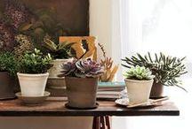 Cactos e Suculentas / a minha única chance de ter verde em casa