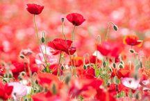 Fleurs! / Ranunculus, poppies, roses, tulips, chrysanthemum, violets, hydrangeas, anemones, allium, Bougainvillea, bleeding hearts, daisies, daffodils, forget-me-nots, foxglove, irises, juniper, lilacs, lilies, lavender, mimosa, orchids, pansies, sweet peas, snowdrops, jonquils, wisteria, zinnias.