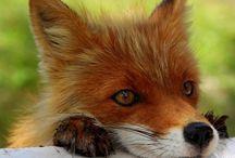 L Mine spirit animal❤️(fox)