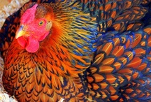 chickens / by Annetta Gregory