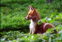 Foxy~Moxy / I love my foxies. And THEY'RE all MINE. mmkay? (:  / by Shasta Dawn